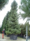 Abies Normaniana 11m