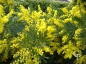Acacia Dealbata   Flower