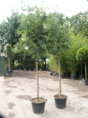 Acacia Dealbata 14-16 70L