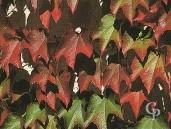 Parthenocissus Tr Veitro 7