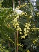 Acacia Dealbata 'Les Gaulois' 2,00 10L