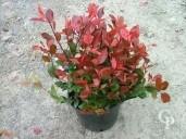 Photinia 'Little Red Robin'  7l