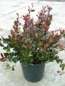 Photinia 'Little Red'   10l