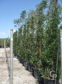 Acacia Longifolia Pyramid 70L