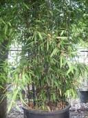 Phyllostachys 'Nigra'    4,50   150l