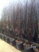 Acer Griseum Multi-stem