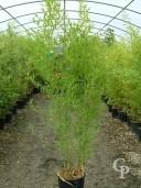 Phyllostachys Aurea 1,75 Extra 12l