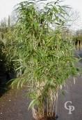 Pseudosasa Japonica  2,50
