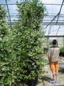 Rhyncospermum Jasminoides 3,50