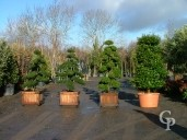 Ilex Bonsai Group