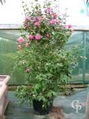 Camellia 'Debbie'  1,25+