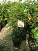 Camellia 'Lady Campbell' 1,20