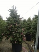 Camellia 'Sasangua'