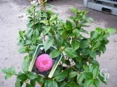 Camellia Jap 'Mrs Tingley' 15l