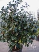 Camellia Japonica   1,25+
