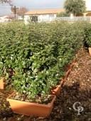 Eleagnus Ebbingeii instant hedge