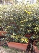 Eleagnus Ebbingeii 'Gilt edge'  instant hedge
