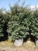 Eleagnus Ebbingeii 130Ltr bush
