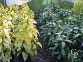 Aucuba Jap 'Crotonifolia Gold'    10l
