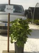 Aucuba Jap 'Crotonifolia'    10l