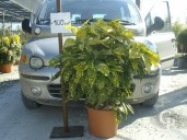 Aucuba Jap 'Crotonifolia'    80  LV15