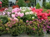 Azalea Jap And Rhododendron Selection