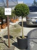 Buxus Rotund  C12 30-35cm