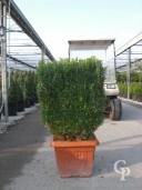 Buxus Semp  Arborescens    Cube