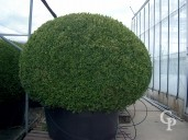 Buxus Sempervirens    135-140  Ball