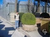 Buxus Sempervirens   1,75  Ball