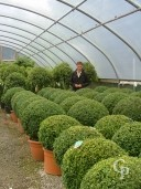 Buxus Sempervirens   70cm And 95cm  Ball