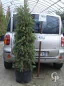 Callistemon  Cone  1,50  40l