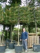 Carpinus Betulus   16-18 Pleached