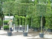 Carpinus Betulus  Pleached   12-14   50l
