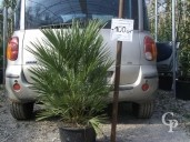 Chamaerops Humilis   80-1,00   20l