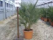 Chamaerops Humilis  60-80 LV12