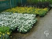 Chrysanthmum & Euryops