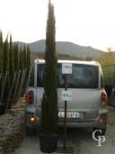 Cup Semp Totem C30 250cm Jpg