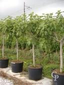 Ficus Carica 'Brown Turkey'  20-25  110l