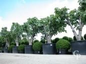 Ficus Carica 'Brown Turkey'  80-90 750l