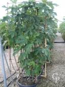 Ficus Pleached   1,80   60l
