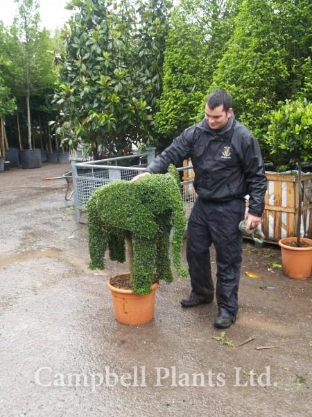 Topiary Campbell Plants Ltd
